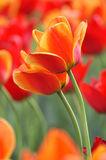 Tulips alaranjados Imagens de Stock Royalty Free