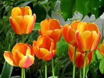 Tulips alaranjados Foto de Stock