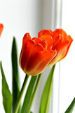 Tulips alaranjados Fotografia de Stock