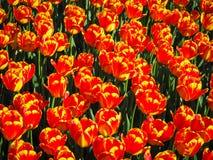 Tulips alaranjados imagens de stock