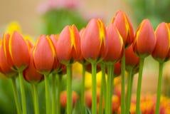 Tulips alaranjados amarelos foto de stock royalty free