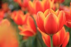 Tulips alaranjados bonitos Foto de Stock Royalty Free