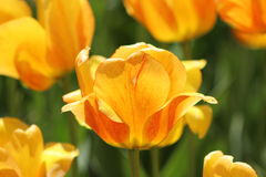 Tulips alaranjados e amarelos Fotografia de Stock Royalty Free