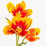 Tulips alaranjados e amarelos Imagem de Stock Royalty Free