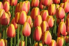 Tulips alaranjados e amarelos Fotos de Stock Royalty Free