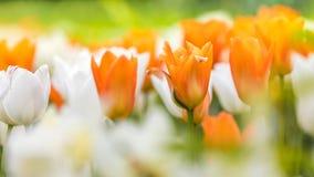 Tulips alaranjados e brancos Foto de Stock Royalty Free