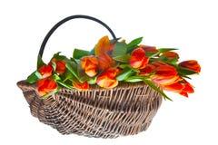 Tulips alaranjados na cesta Imagem de Stock Royalty Free