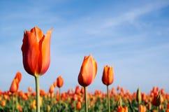 Tulips alaranjados na manhã Imagens de Stock
