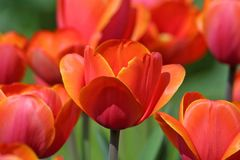Tulips alaranjados no jardim foto de stock