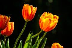 Tulips alaranjados no jardim Foto de Stock Royalty Free