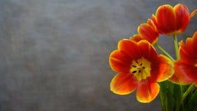 Tulips alaranjados postcard imagens de stock