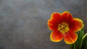 Tulips alaranjados postcard foto de stock royalty free
