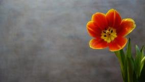 Tulips alaranjados postcard imagem de stock