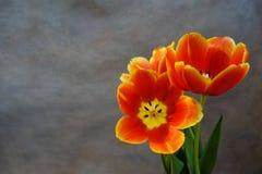 Tulips alaranjados postcard fotografia de stock royalty free