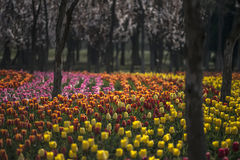 Tulips-alborada. Plant  flower  Tulips  nature  spring  park  color  scenery  gardening  herb Royalty Free Stock Photography