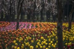 Tulips-alborada Royalty Free Stock Photography