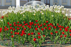 Tulips in Alexander Garden on background of fountain, Moscow Royalty Free Stock Image