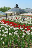 Tulips in Alexander Garden (focus on flowers) Royalty Free Stock Photography