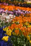 Tulips in all colors. A field of tulips like a rainbow in spring Royalty Free Stock Photos
