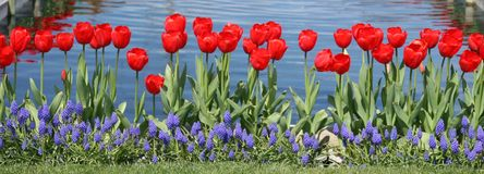 Tulips all in a row. Pretty red tulips all in a row royalty free stock images