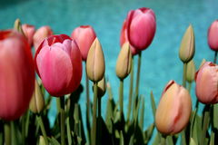 Tulips along swimming pool. Wallpaper Royalty Free Stock Images