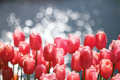 Tulips along swimming pool. Wallpaper Royalty Free Stock Photos