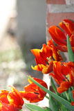 Tulips along the Wall. Tulips along a brick wall Royalty Free Stock Photos