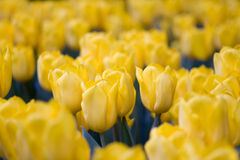 Tulips amarelos Imagem de Stock