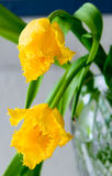 Tulips amarelos, Fotografia de Stock
