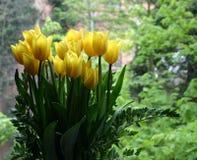 Tulips amarelos Foto de Stock Royalty Free