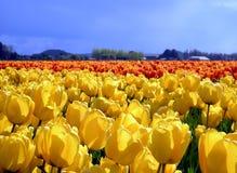 Tulips amarelos imagem de stock royalty free