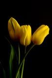 Tulips amarelos disparados de encontro ao fundo preto de veludo Fotografia de Stock