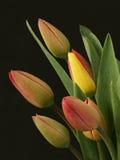 Tulips amarelos e vermelhos Foto de Stock
