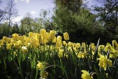 Tulips amarelos holandeses Foto de Stock Royalty Free