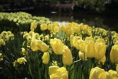 Tulips amarelos holandeses imagem de stock royalty free
