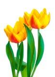 Tulips amarelos isolados no fundo branco Fotos de Stock Royalty Free