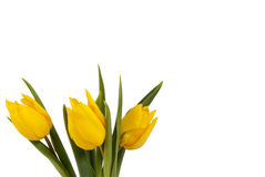 Tulips amarelos no bacground branco Imagens de Stock Royalty Free