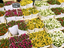 Tulips in Amsterdam Stock Image