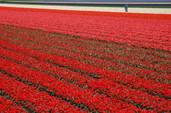 Tulips from amsterdam... A tulip field in Holland during spring time; red, pink. orange and white tulips royalty free stock photography