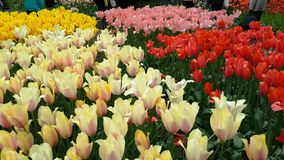 Tulips Amsterdam Holland Flowers Colorful Royalty Free Stock Photo