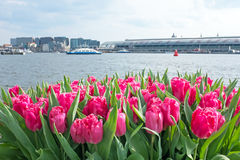 Tulips in Amsterdam Netherlands Royalty Free Stock Photos
