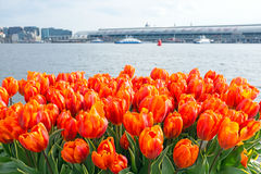 Tulips in Amsterdam Netherlands. Blossoming tulilps in Amsterdam the Netherlands Royalty Free Stock Image