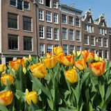Tulips in Amsterdam, Netherlands Royalty Free Stock Images