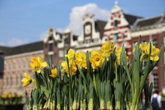 Tulips in Amsterrdam. Tulips and historical buildings in the old part of Amsterdam, Holland Stock Photo