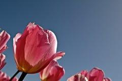 Tulips4 stock image