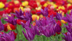 Tulips as Background. Sways in the wind stock video footage