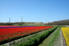 Tulips as far as the eye can see, attracts many tourists. Royalty Free Stock Photos