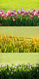 Tulips backgound Royalty Free Stock Images