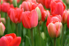 Tulips background. The symbol of spring and love tulips Stock Photography