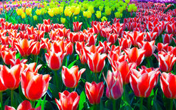 Tulips background Royalty Free Stock Image
